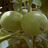 Walnuss Baum Walnussbaum Obstbaum winterhart Juglans regia Veredlung | Franquette | Esterhazy II | Mayette | Parisienne | Seifersdorfer | winterhart 100-150 cm (Esterhazy II)