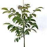 Grüner Garten Shop Zwerg- Walnussbaum Mini Multiflora Nr. 9, veredelter Walnussbaum, ca. 60-100 cm, im 5 Liter Topf