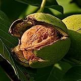 Echter Walnussbaum - Juglans regia - verschiedene Größen (160-180cm Stamm 50-60cm Topf Ø 28cm)