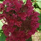 Rispenhortensie Wims Red weiß-rosa-rot - Hortensie winterhart & mehrjährig - Hydrangea Paniculata - 1 Pflanze von Garten Schlüter - Pflanzen in Top Qualität