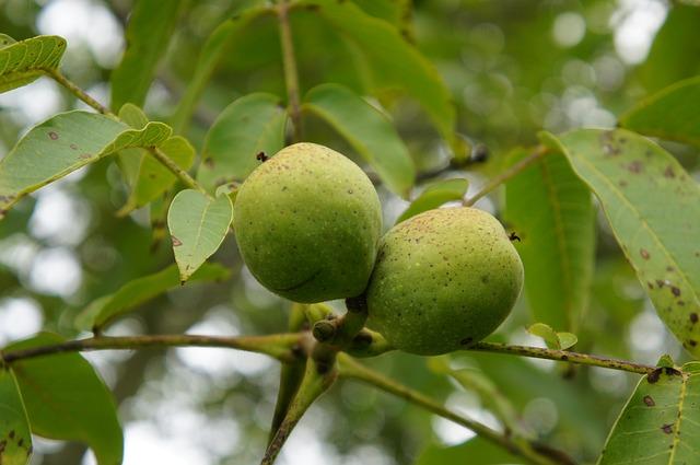 Walnussbaum Sorten
