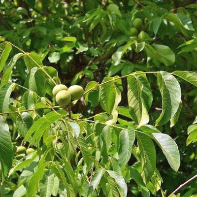 Walnussbaumblätter gegen Hauterkrankungen: Tipps zur Wirkung und Anwendung