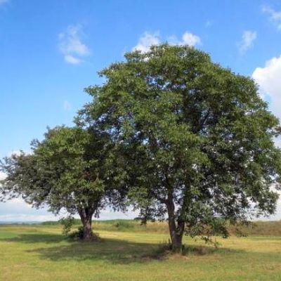 Walnussbaum: Infos zum Wachstum pro Jahr & erster Ertrag