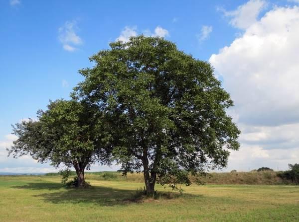 Walnussbaum Wachstum