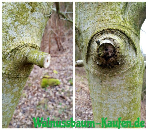 Walnussbaum schneiden - Krankheit