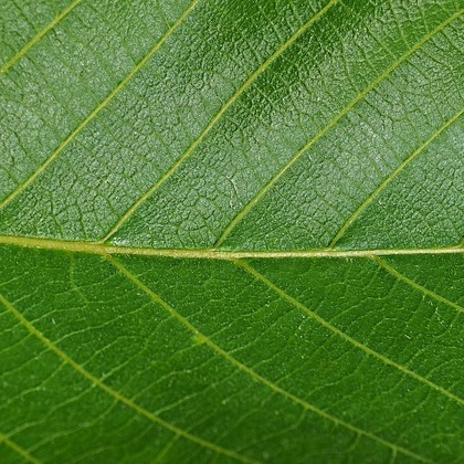 Walnussbaumblätter