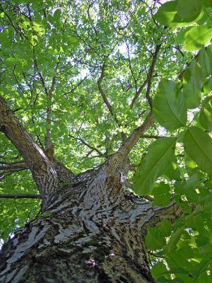 Walnussbaum klein halten