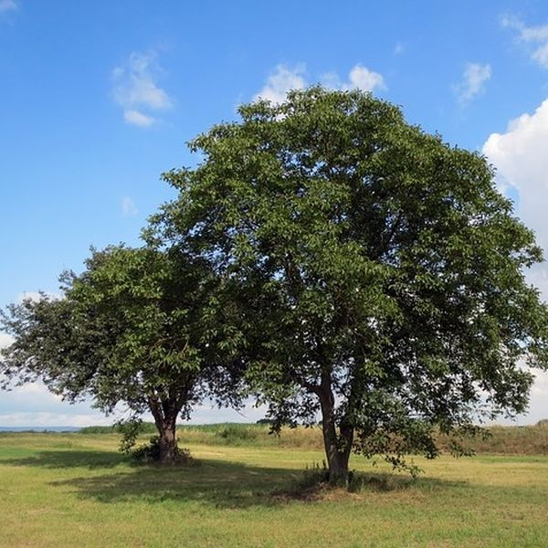 Die Walnussbaum Wurzel