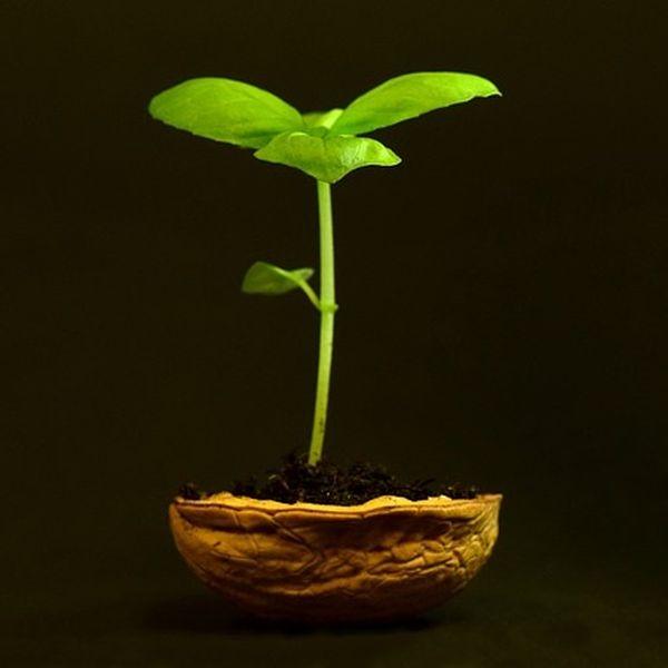 Walnussbaum aus Walnuss Keimen züchten